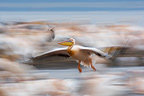 Great White Pelican flying away Lake Nakuru Kenya� (Great White Pelican)