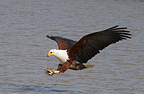 African Fish Eagle fishing Lake Baringo Kenya (African Fish Eagle)