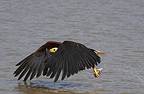 African Fish Eagle having caught a fish Lake Baringo Kenya  (African Fish Eagle)