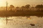 Flight of Red-billed Queleas in savanna Botswana  (Red-billed Queleas)
