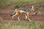 Jackal carrying the head of a gazelle Masai Mara Kenya  (Black-backed jackal)
