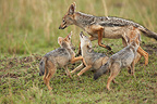 Black-backed Jackal playing with her young Masai Mara Kenya (Back-backed jackal)