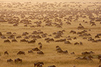 White-bearded Wildbeast migration Masaï Mara Kenya (Eastern white-bearded wildebeest)