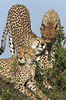 Cheetah and her young on a mound Masai Mara Kenya (Cheetah)