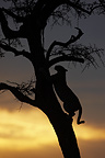 Leopard in a tree at sunset Masai Mara Kenya� (African leopard)