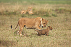 Lioness playing with her cub Masai Mara Kenya� (African lion)