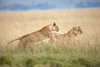 Lionesses playing in the savannah Masai Mara Kenya  (African lion)