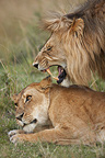 Couple Lions lying in the grass Masai Mara Kenya  (African lion)