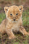 Portrait of Lion cub in the grass Masai Mara Kenya  (African lion)
