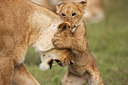 Lioness playing with her cub Masai Mara Kenya  (African lion)