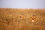 Lions rest in tall grass Masai Mara Kenya� (African lion)