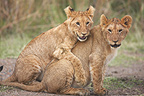 Lion cubs hugging in the grass Masai Mara Kenya (African lion)