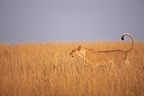 Lioness walking in the savannah Masai Mara Kenya� (African lion)