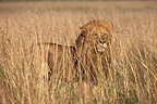 Lion in the tall grass Masai Mara Kenya� (African lion)