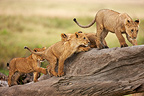 Lions playing on the trunk of a dead tree Masai Mara  (African lion)