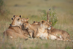 Lioness and cubs resting Masai Mara Kenya� (African lion)
