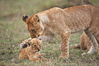 Young Lioness playing with cub Masai Mara Kenya  (African lion)