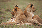 Young Lionesses playing with cub Masai Mara Kenya  (African lion)