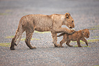 Young Lioness playing with cub Masai Mara Kenya� (African lion)
