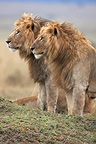 Lions sitting in the savannah Masai Mara Kenya� (African lion)