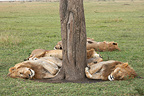 Lions asleep at the foot of a tree Masai Mara Kenya (African lion)