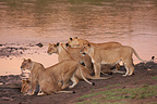 Lionesses at the edge of a river Masai Mara Reserve Kenya� (African lion)