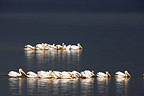 White pelicans resting on Lake Nakuru Kenya� (Great White Pelican)
