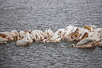 Fishing collective White Pelicans on Lake Nakuru Kenya� (Great White Pelican)