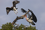 Martial Eagle chased by a Marabou Stork Nakuru Kenya (Martial Eagle)