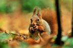 Red squirrel eating a nut in autumn Ile-de-France France (Eurasian red Squirrel )