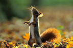 Red squirrel smelling in autumn Ile-de-France France (Eurasian red Squirrel )