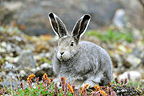 Arctic Hare lying in tundra Somerset Island Nunavut Canada (Arctic hare)
