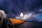 Sea bird landed on a sailboat before the thunderstorm (Seabird)