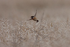 Siberian Stonechat flying away Marne France (Siberian Stonechat)