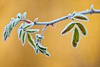 Branch and leaves covered with frost Marne France