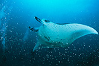 Giant Manta feeding in open water in the Maldives (Giant manta ray)