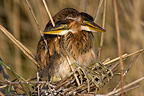 Young Purple Herons in nest Dombes France (Purple Heron)
