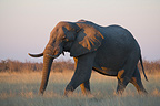 Elephant walking in dry grass at sunset Botswana (African elephant)