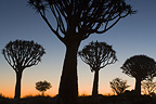 Quiver tree forest backlit at sunset Namibia
