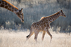 Giraffe mother and calf walking in tall dry grassa Kgalgadi (Southern Giraffe)