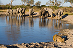 Elephants and Lion drinking at waterhole Savuti Marsh area (African lion; Elephant)
