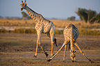 Giraffes feeding on Chobe River flood plain Botswana (Giraffe)