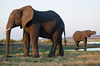 Elephants feeding and drinking at Chobe River Botswana (African elephant)