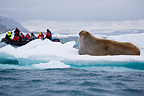 Tourists in zodiac amongst drift ice watching walruss (Walrus)