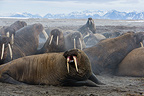 Walrus excited after being disturbed by tourists Svalbard (Walrus)