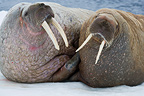 Walrus couple on ice floe in summer Svalbard (Walrus)