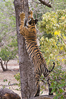 17 month. old Bengal tiger cub marking tree, Bandhavgarh NP, India