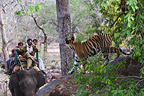 17 month old Bengal tiger cub and tourists, Bandhavgarh NP, India
