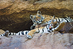 Bengal tigress with 11 months old cub in cave, Bandhavgarh NP, India