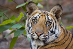 Portrait of Bengal a young Tiger, Bandhavgarh NP, India